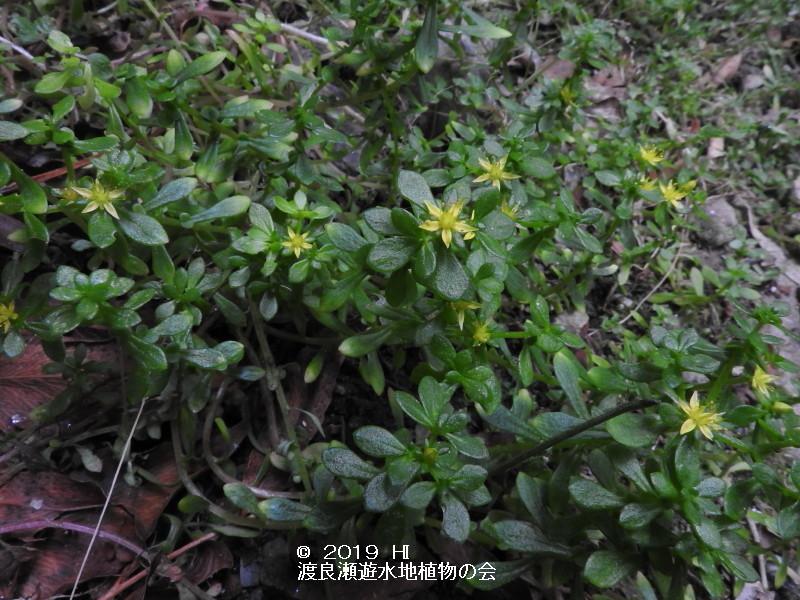 渡良瀬遊水地に咲くコモチマンネングサの画像