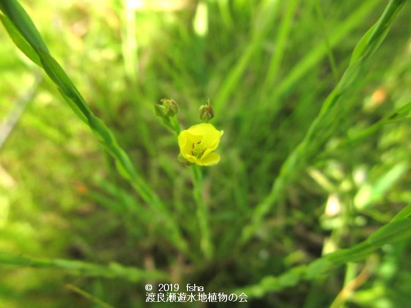渡良瀬遊水地に咲くキバナノマツバニンジンの画像(花)