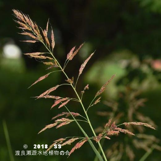渡良瀬遊水地に生育しているセイバンモロコシの画像