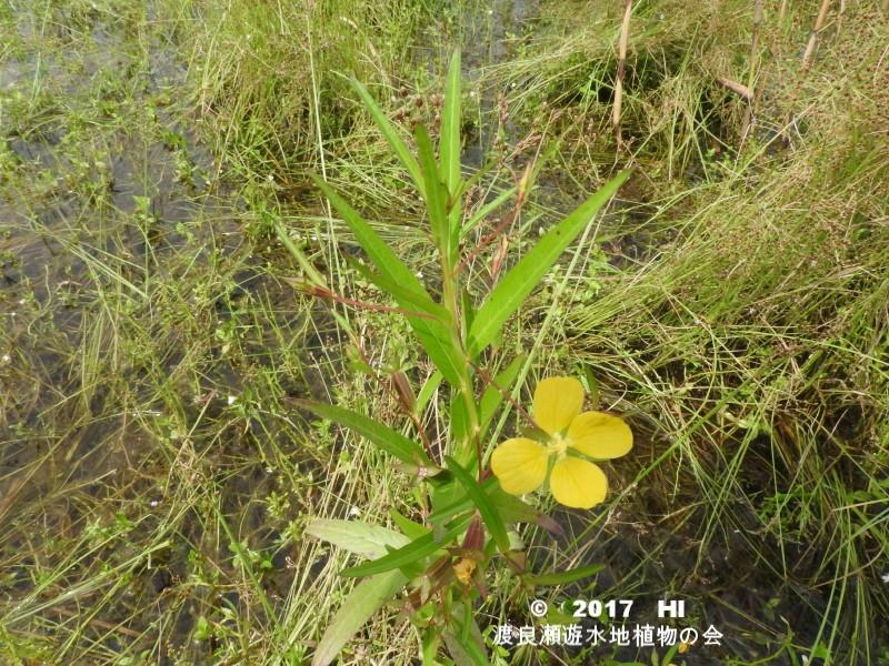 渡良瀬遊水地に生育しているヒレタゴボウの全体画像と説明文書