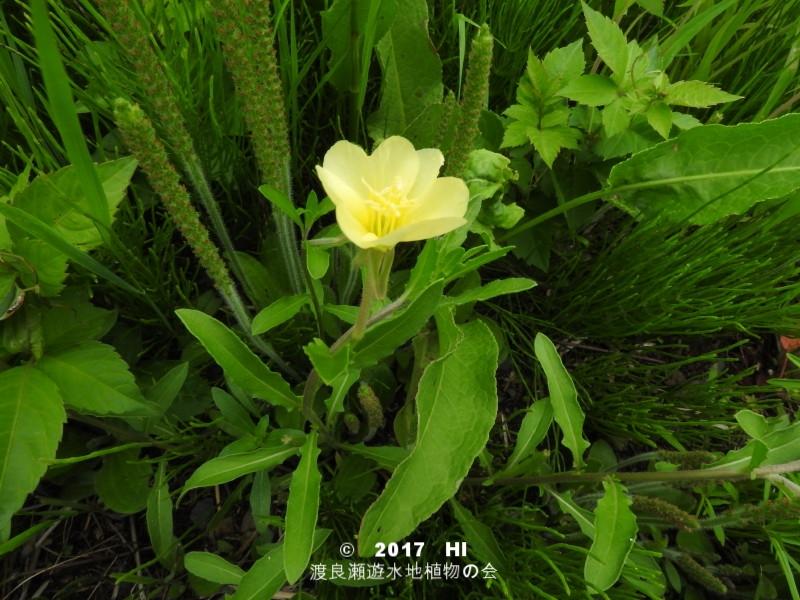渡良瀬遊水地に生育するコマツヨイグサの全体画像と説明文書
