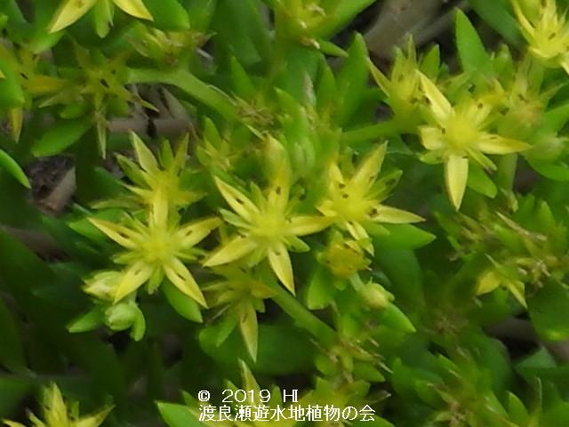 渡良瀬遊水地に生育するツルマンネングサの画像その4
