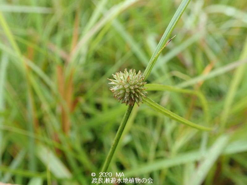 渡良瀬遊水地に生育するタチヒメクグの画像その1