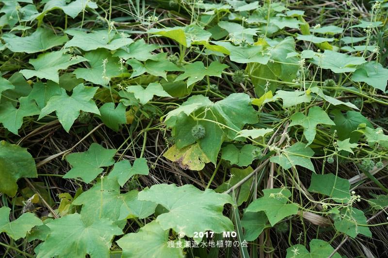 渡良瀬遊水地に生育しているアレチウリの全体画像と文書(種子)