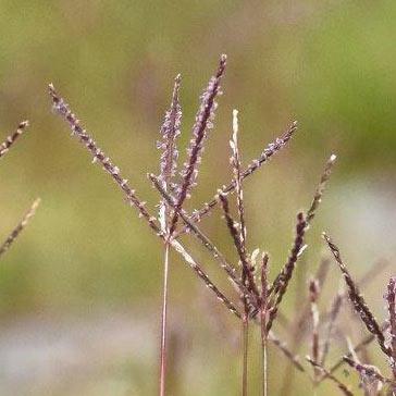 渡良瀬遊水地に生育するギョウギシバの画像その3
