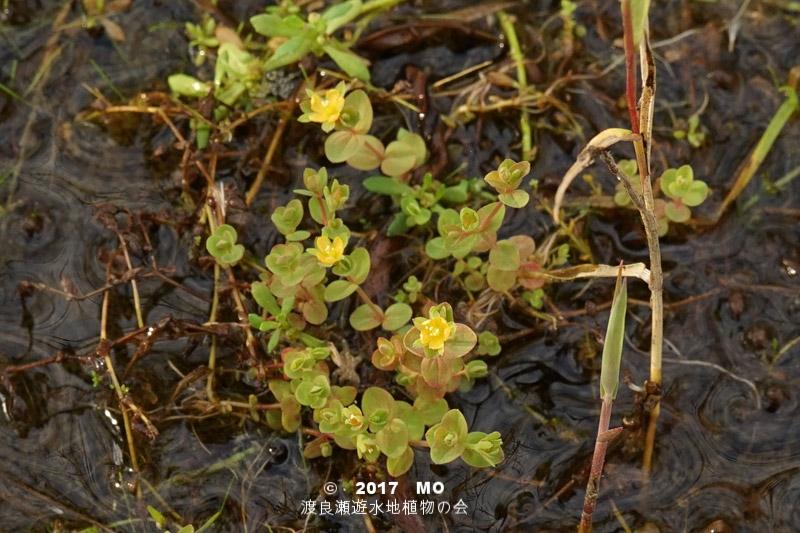 渡良瀬遊水地に生育するコケオトギリの全体画像と説明文書