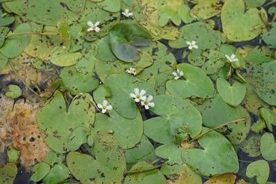 渡良瀬遊水地の 絶滅危惧種 ヒメシロアサザ