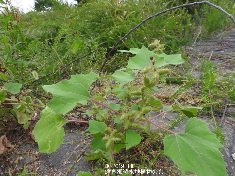 渡良瀬遊水地に生育するオオオナモミの画像