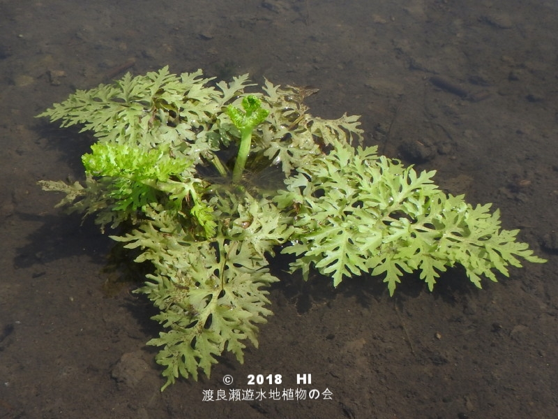 渡良瀬遊水地に生育するヒメミズワラビの全体画像(水中葉)と説明文書