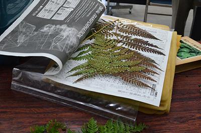 渡良瀬遊水地植物の会 学習会の様子 シダの標本作り