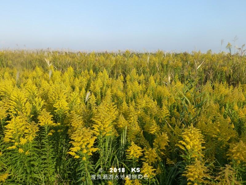 渡良瀬遊水地に生育しているセイタカアワダチソウの全体画像と説明文書