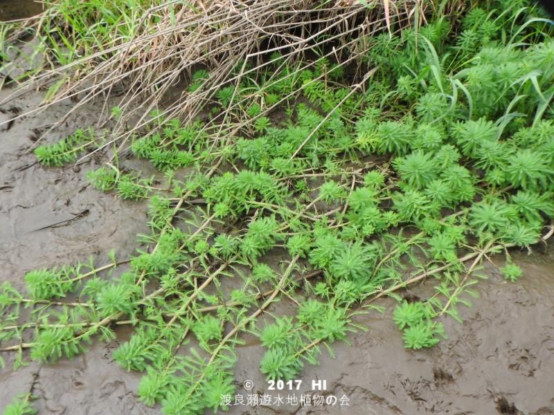 渡良瀬遊水地に生育するオオフサモの全体画像と説明文書
