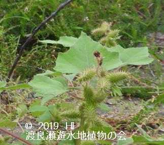 渡良瀬遊水地に生育しているオオオナモミの画像その2