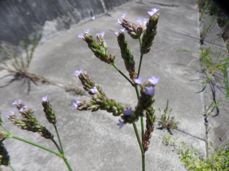 渡良瀬遊水地に生育しているアレチハナガサの画像