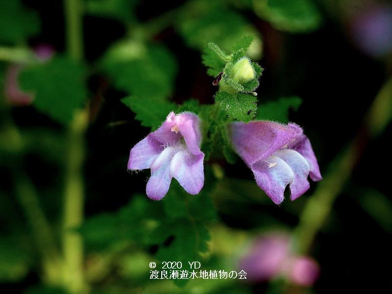 渡良瀬遊水地に生育するコシオガマの画像その1