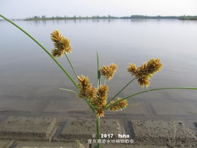 渡良瀬遊水地に生育しているヌマガヤツリの全体画像と説明文書