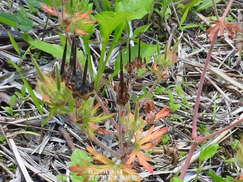 渡良瀬遊水地に咲くアメリカフウロの画像