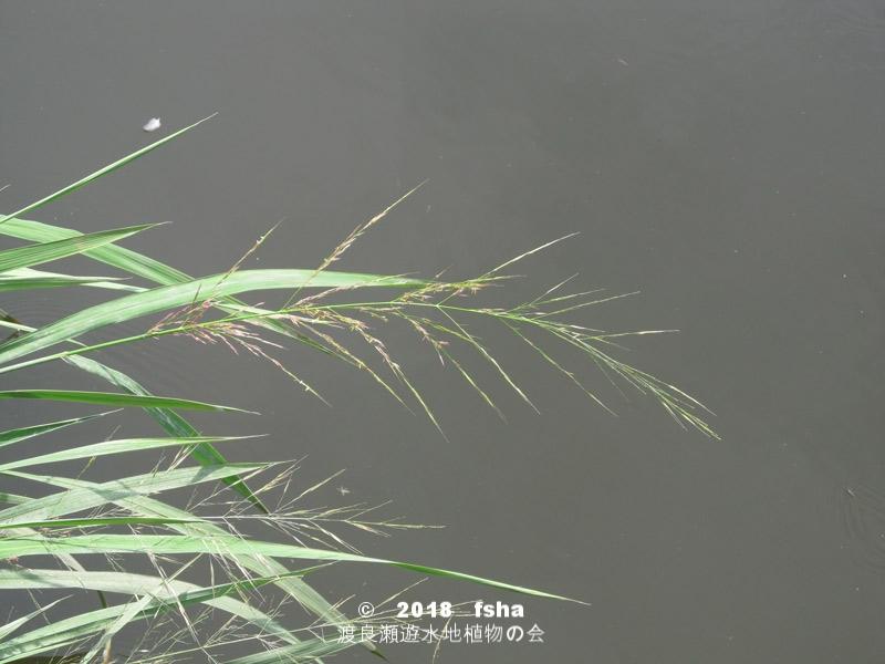 渡良瀬遊水地に生育しているマコモの全体画像と説明文書
