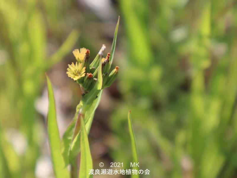 渡良瀬遊水地に生育するノニガナの花画像と説明文書
