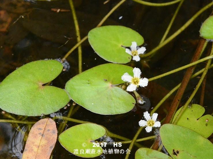 渡良瀬遊水地に生育しているヒメシロアサザの全体画像と説明文書