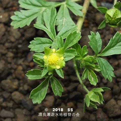 渡良瀬遊水地に生育するコバナキジムシロ(花)の画像