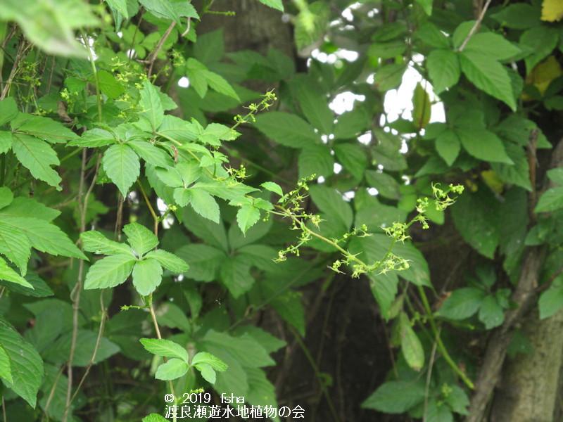 渡良瀬遊水地に咲くアマチャヅルの画像