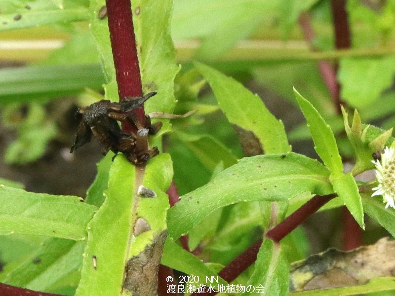 渡良瀬遊水地に生育しているアメリカタカサブロウの画像その2
