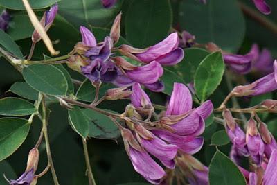渡良瀬遊水地に生育しているミヤギノハギ(花)の画像