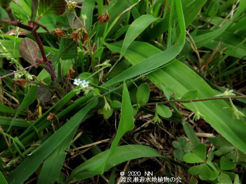 渡良瀬遊水地に生育するキュウリグサの画像その2