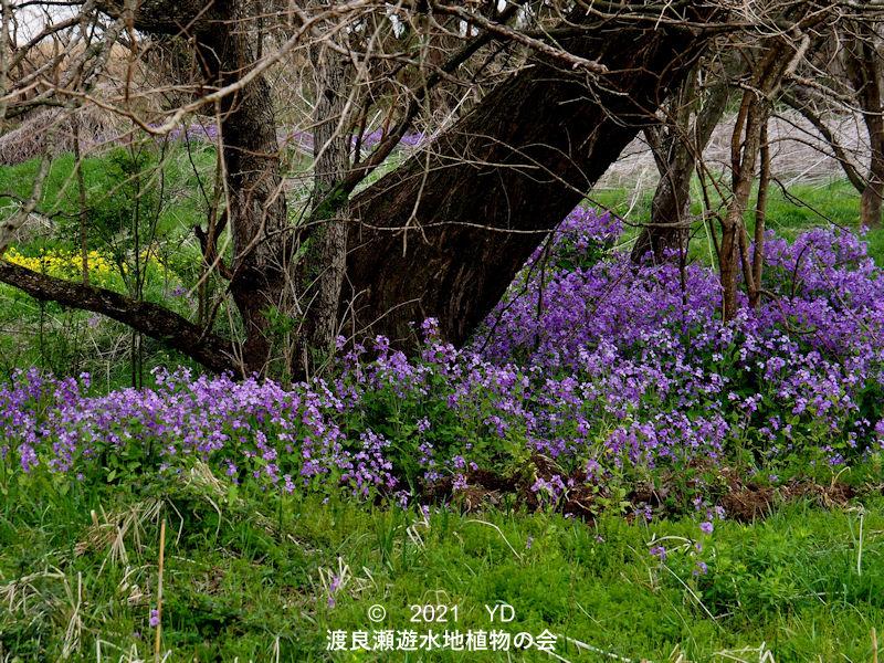 渡良瀬遊水地に生育するオオアラセイトウの全体画像