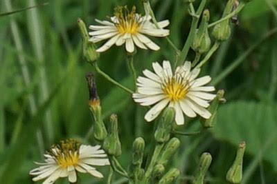 渡良瀬遊水地に生育しているアキノノゲシ(花)の画像