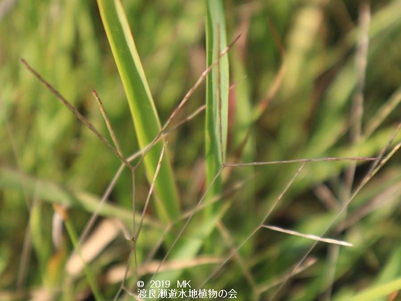 渡良瀬遊水地に生育するカリマタガヤの画像