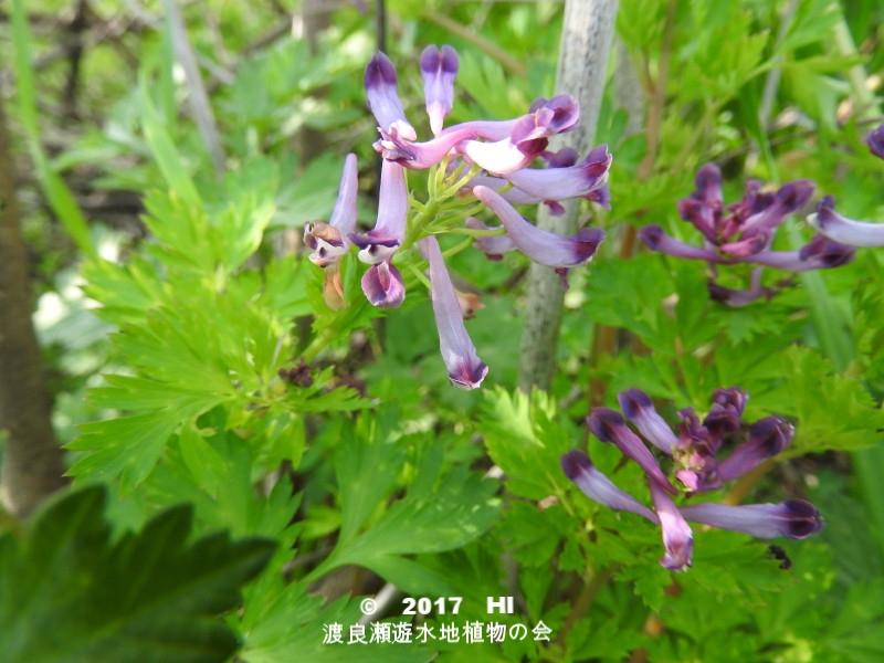 渡良瀬遊水地に生育しているムラサキケマンの全体画像と説明文書