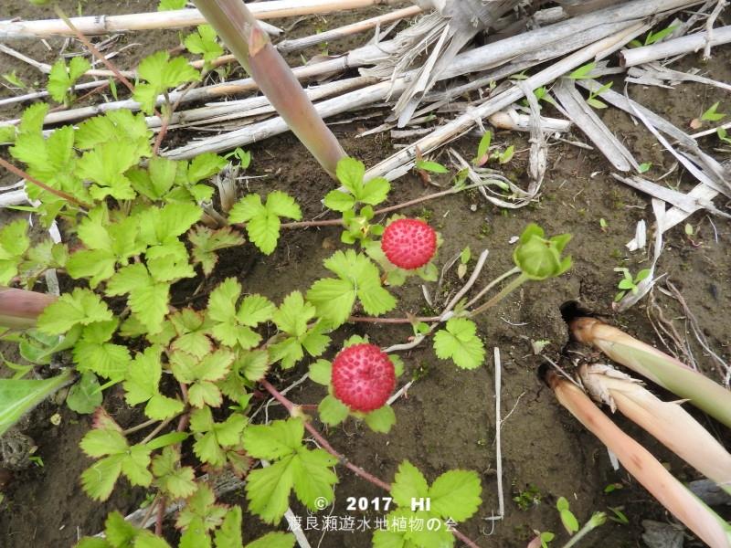 渡良瀬遊水地に生育しているヘビイチゴの全体画像と説明文書