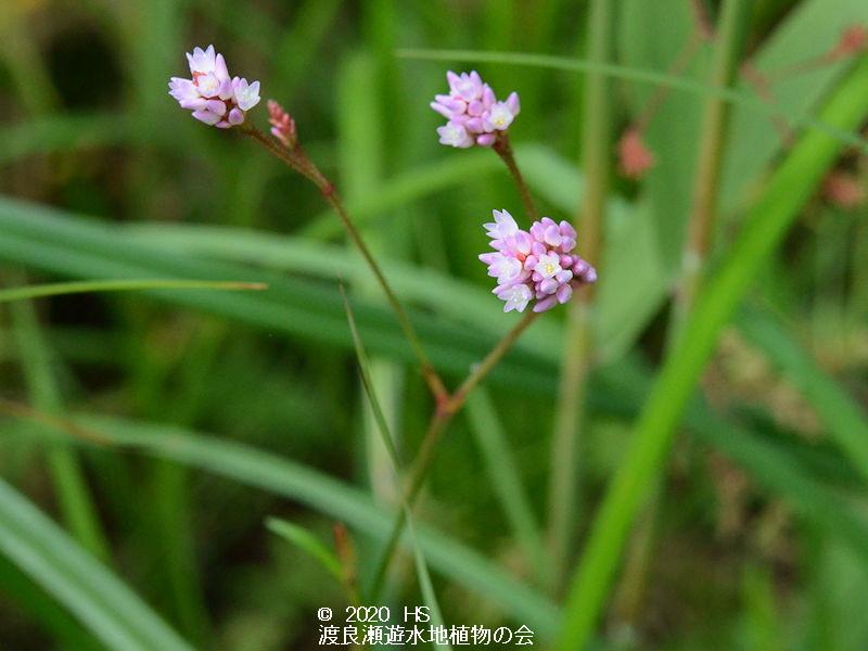 渡良瀬遊水地に生育しているナガバノウナギツカミ(花)の画像