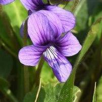 渡良瀬遊水地に生育しているノジスミレ(花)の画像