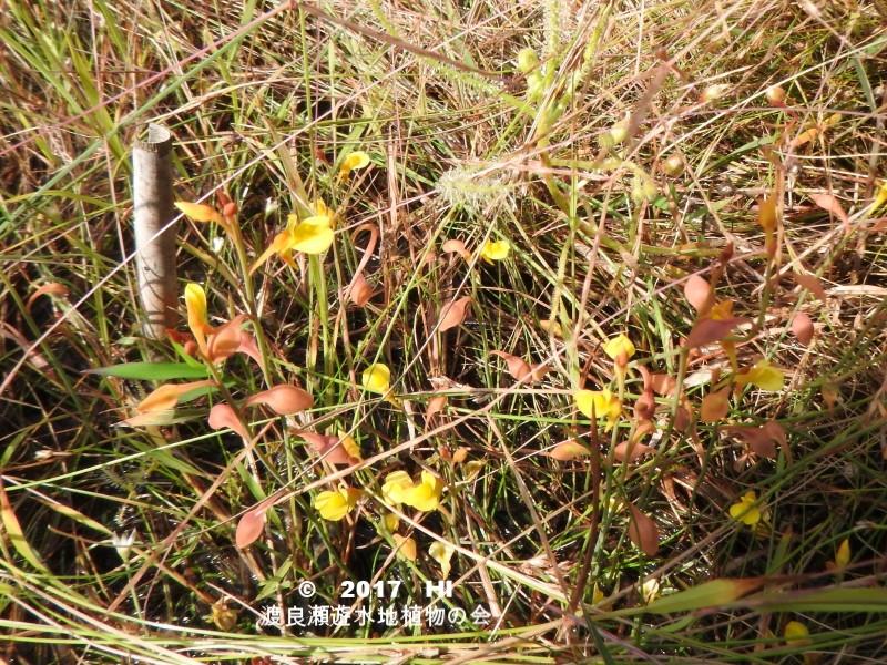 渡良瀬遊水地に生育しているミミカキグサの全体画像と説明文書