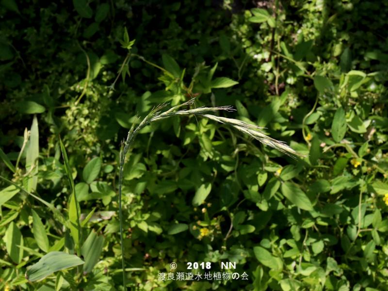 渡良瀬遊水地に生育しているアオカモジグサの全体画像と説明文書