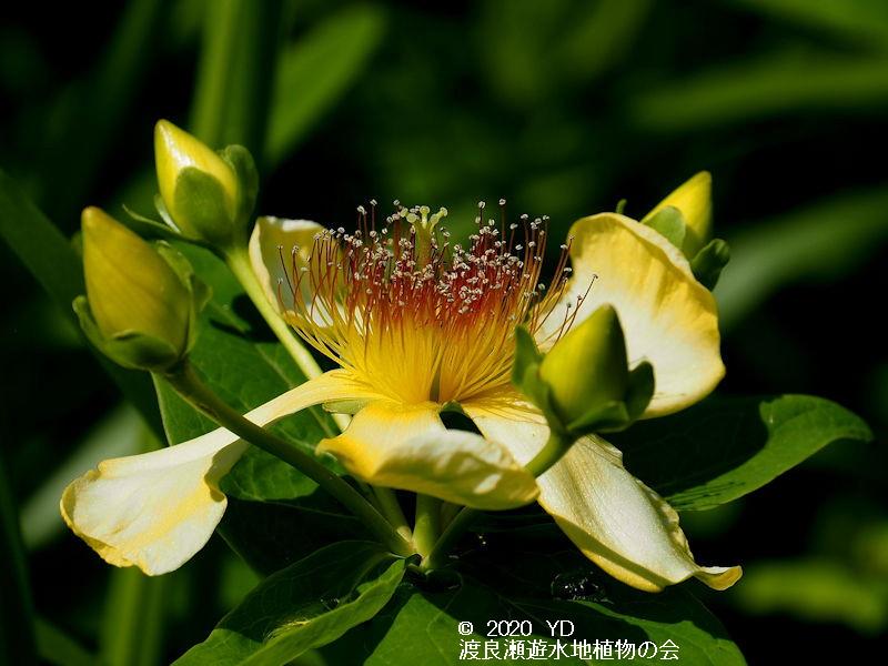 渡良瀬遊水地に生育するトモエソウの画像 花