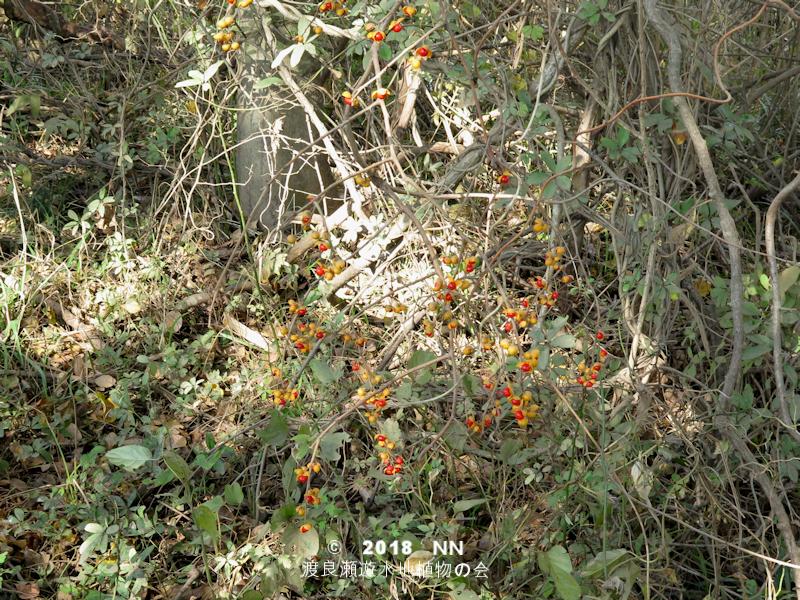 渡良瀬遊水地に生育しているツルウメモドキの全体画像と説明文書