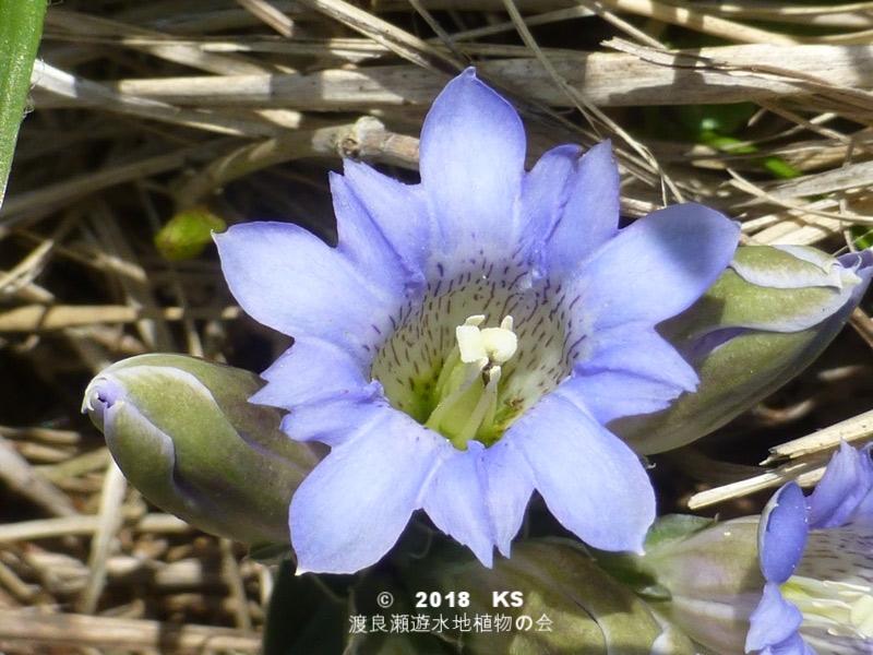 渡良瀬遊水地に生育しているフデリンドウの全体画像と説明文書
