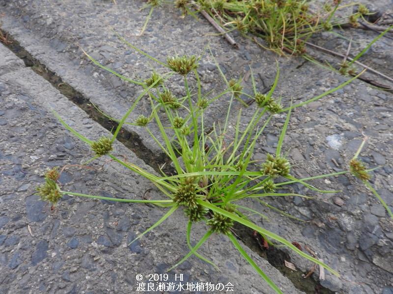 渡良瀬遊水地に生育するアオガヤツリの画像