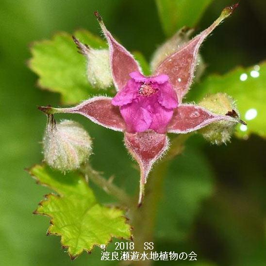 渡良瀬遊水地に生育しているナワシロイチゴ(花)の画像