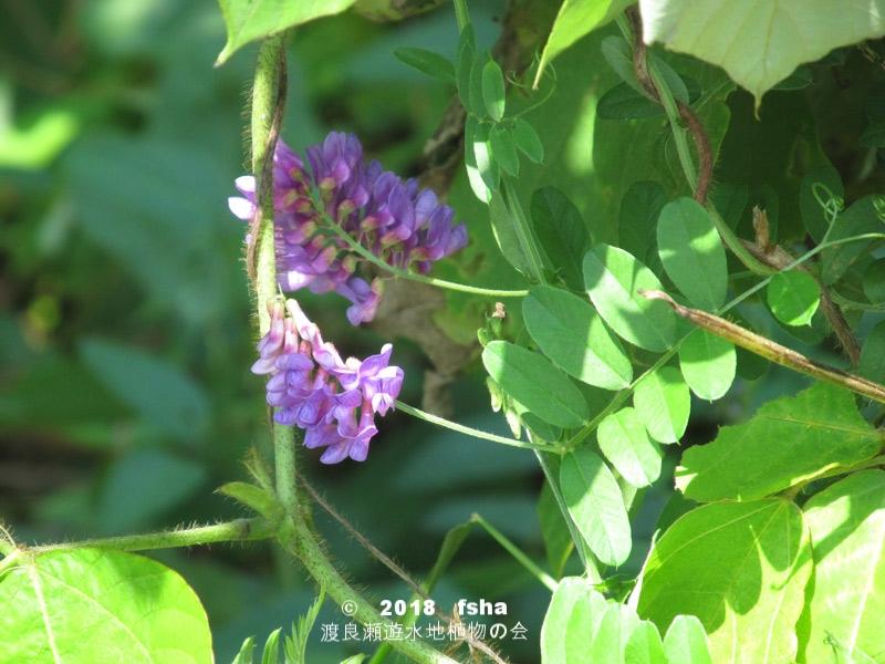 渡良瀬遊水地に生育しているツルフジバカマの全体画像と説明文書