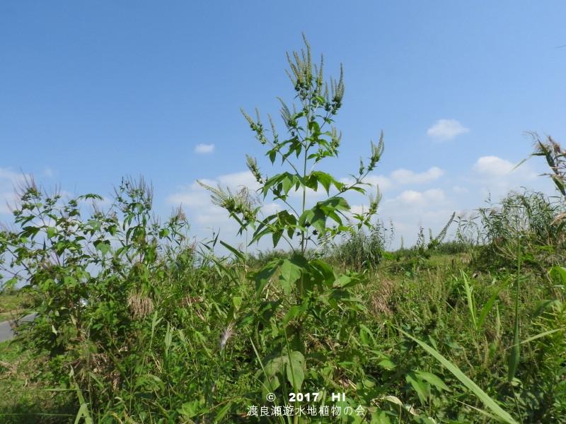 渡良瀬遊水地に生育するオオブタクサの全体画像と説明文書