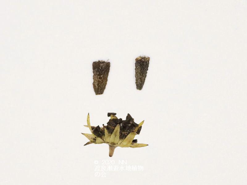 渡良瀬遊水地に生育しているアメリカタカサブロウの画像その3