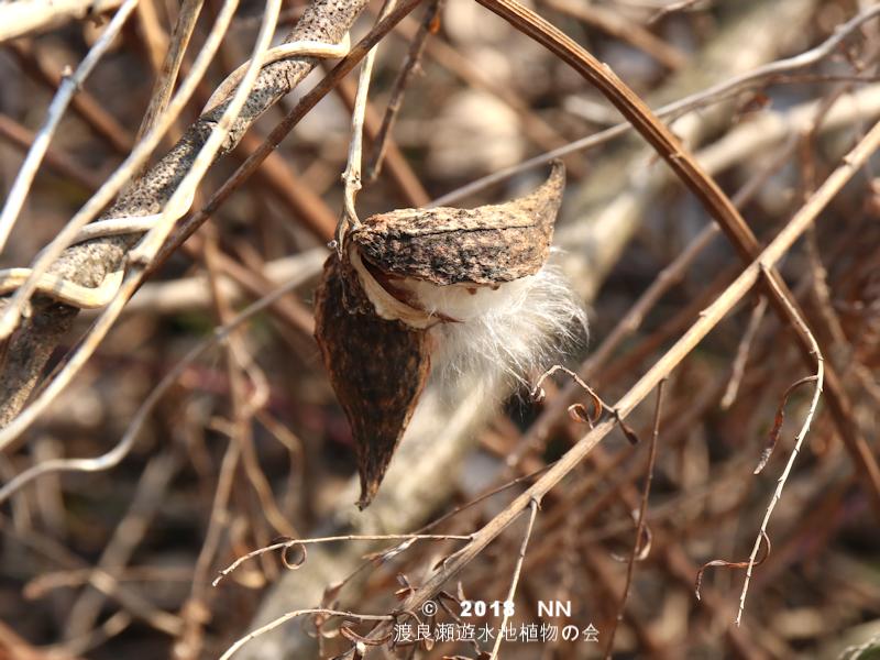 渡良瀬遊水地に生育するガガイモの実の画像