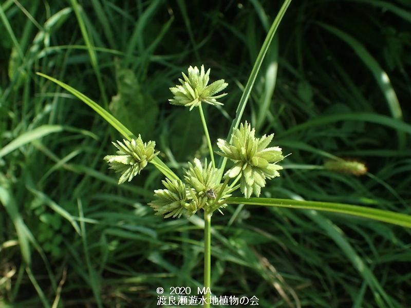 渡良瀬遊水地に生育しているメリケンガヤツリの画像