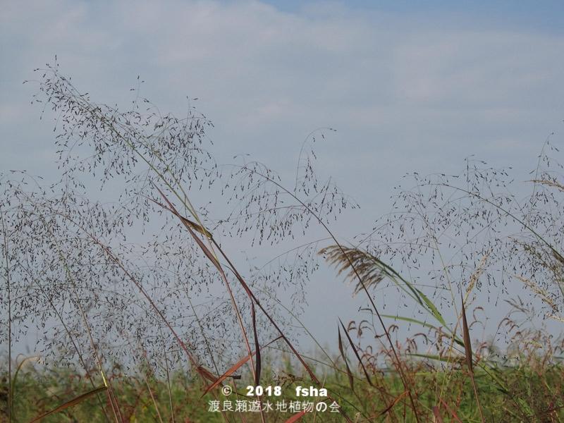 渡良瀬遊水地に生育しているヌカキビの全体画像と説明文書