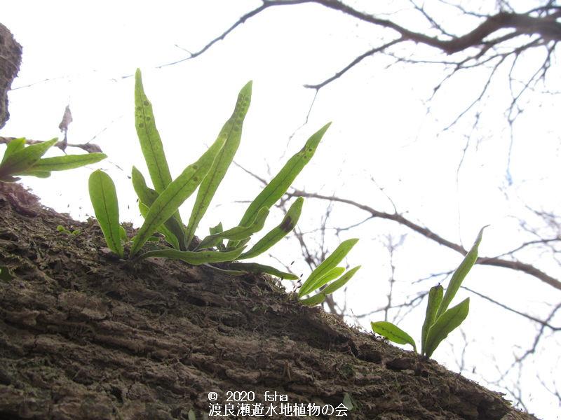 渡良瀬遊水地のノキシノブの画像その2